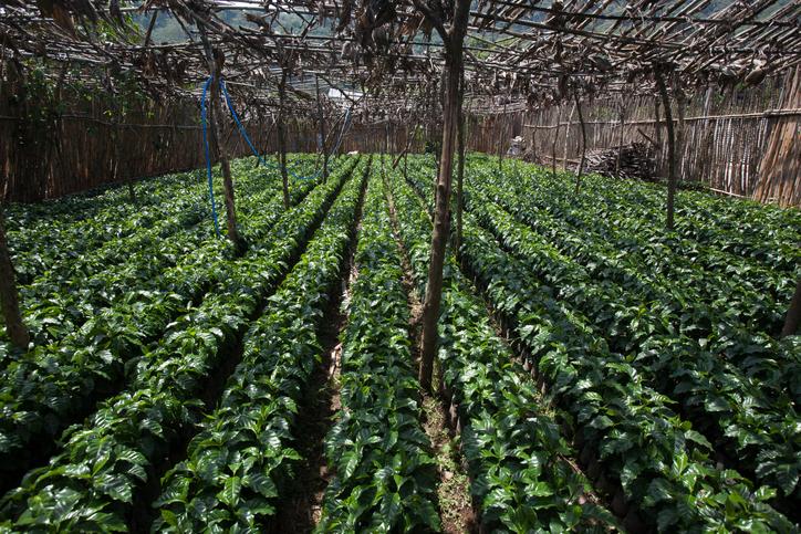 coffee production, Coffee nursery with healthy seedlings in Guatemala