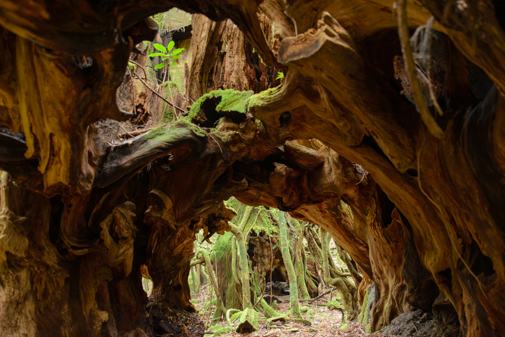 Tree tunnel World Natural Heritage Yakushima