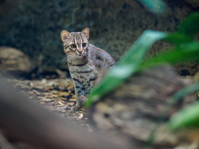 A Rusty cat in a zoo, smallest cats