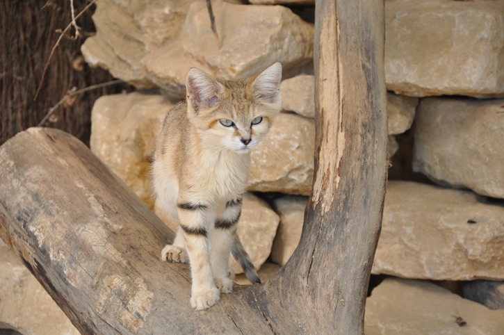 A sand cat is among the smallest cats in the world