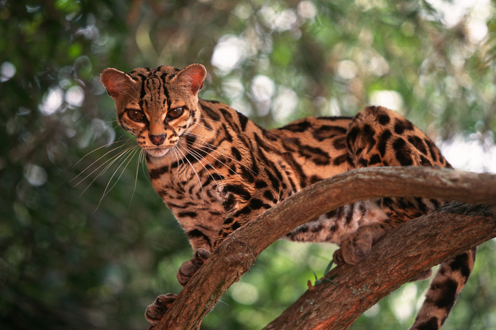 Margay is among the smallest cats in the world