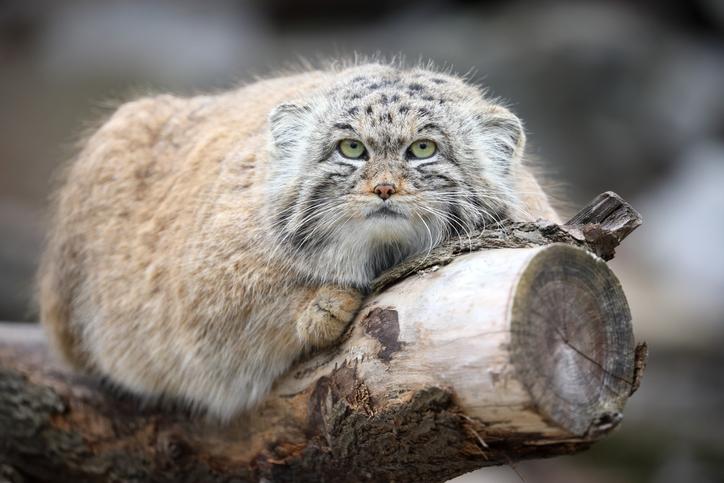Pallas's cat the original Grumpy cat, smallest cats