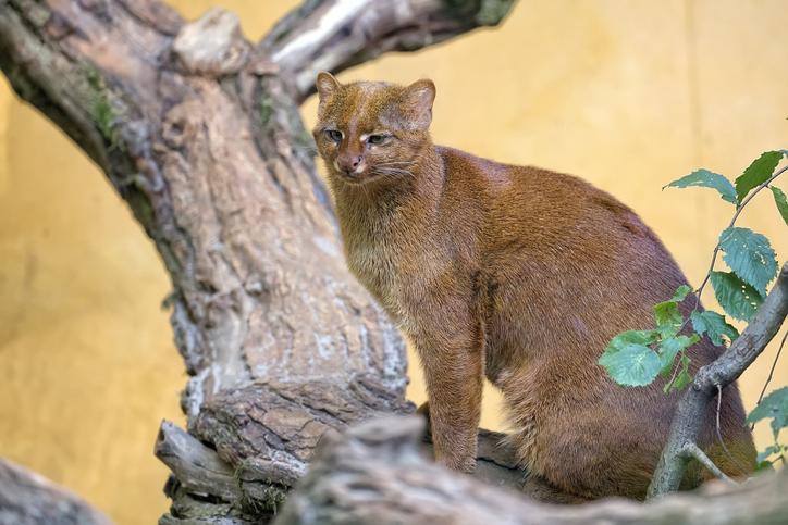 smallest cats- Jaguarundi