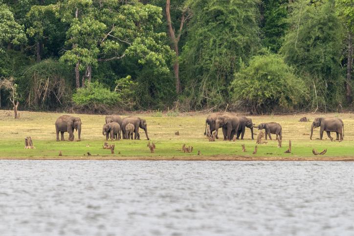 Elephants on the banks of Kabini river, Nagarhole, national parks in Karnataka