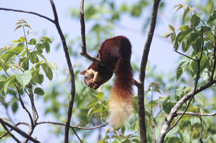 The Indian Giant Squirrel, at Dandeli wildlife sanctuary in Karnataka