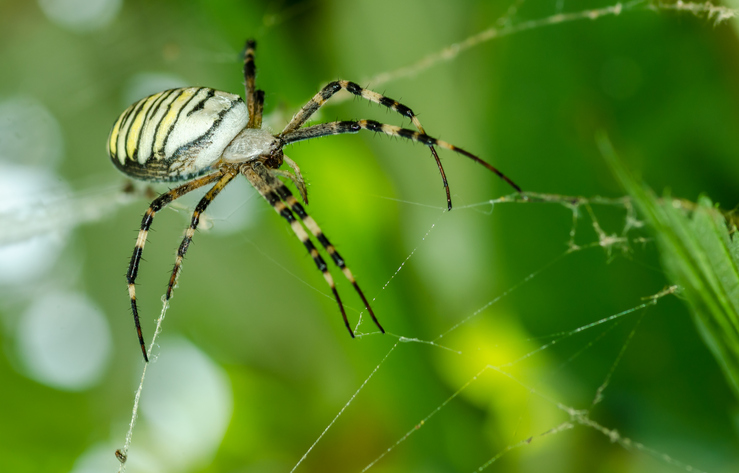 Common black and yellow fat corn or garden spider (Argiope aurantia)