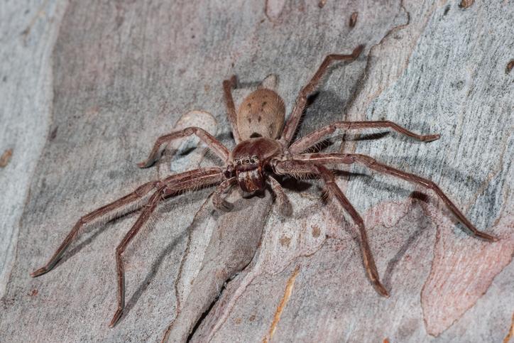 Large Huntsman spider resting on Eucalypt tree limb