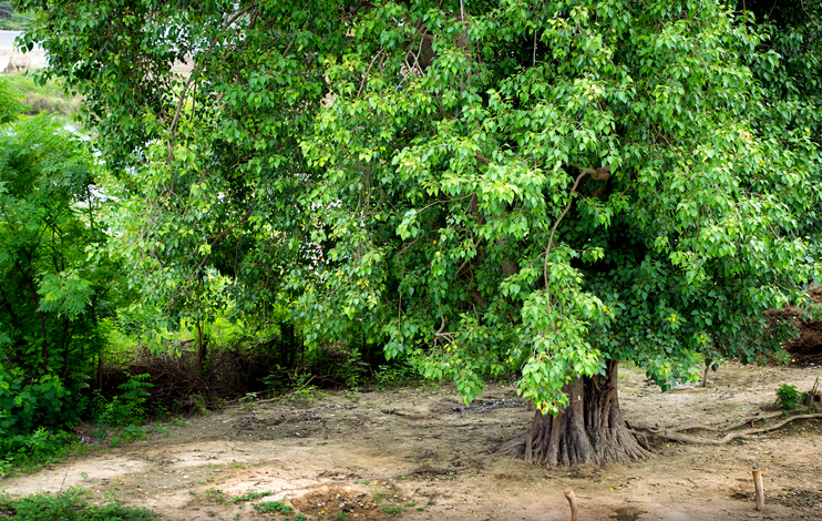 This is a big peepal tree. Peepal tree gives oxygen 24 hours. Peepal is also worshiped