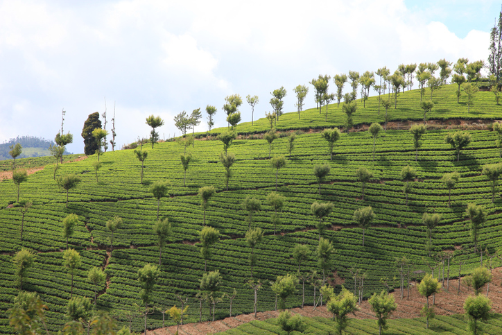 An image of a tea plantation which is situated between Coonoor and Ooty in the Nilgiri hills in South India and was taken from the local toy train