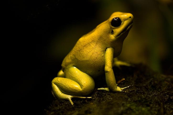 Golden Poison Frog or the Golden Dart Frog, dangerous animals of the world