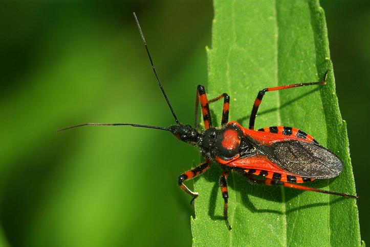 Assassin bug Rhynocoris iracundus