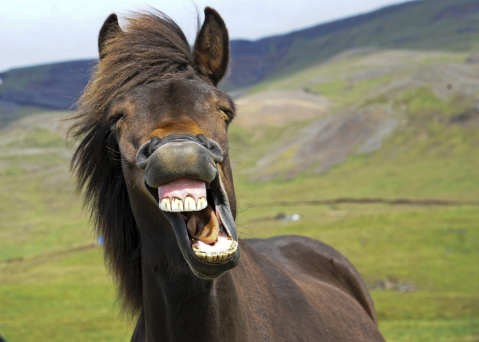 An icelandic horse appears to give a big smile. Funniest facts